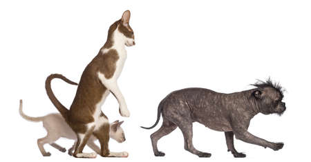 Adult Oriental Shorthair standing on hinds leg with kitten walking behind following crossbreed dog against white background photo