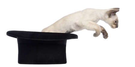 Oriental Shorthair kitten, 9 weeks old, jumping out magicians hat, against white background photo