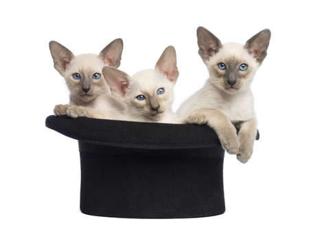 Three Oriental Shorthair kittens, 9 weeks old, sitting in magicians hat, against white background photo