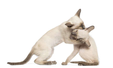 oriental white cat: Two Oriental Shorthair kittens, 9 weeks old, play fighting against white background