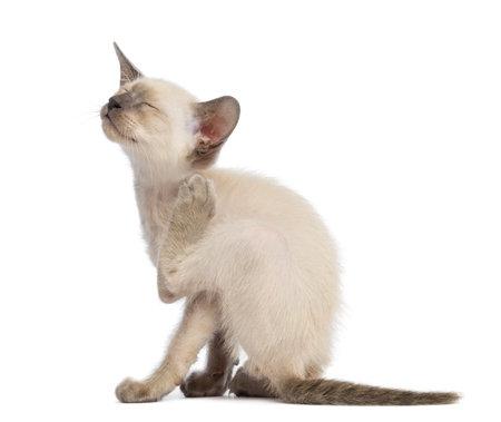 Oriental Shorthair kitten, 9 weeks old, scratching against white background Stock Photo