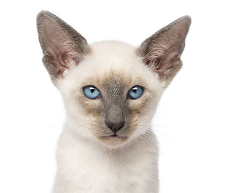 oriental white cat: Close-up of an Oriental Shorthair kitten, 9 weeks old, against white background
