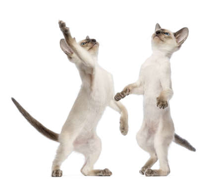 oriental white cat: Two Oriental Shorthair kittens, 9 weeks old, standing on hind legs and reaching against white background