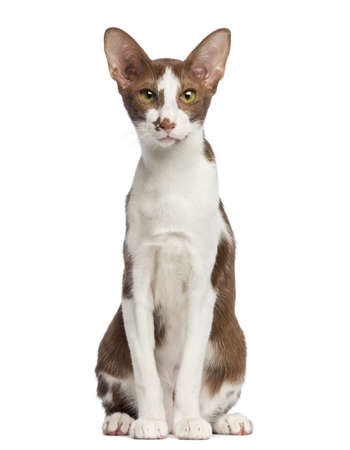 animal themes: Oriental Shorthair sitting and looking at camera against white background