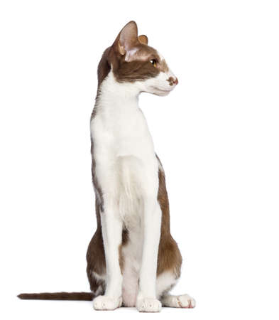 oriental white cat: Oriental Shorthair sitting and looking away against white background