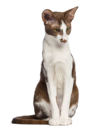 oriental white cat: Oriental Shorthair sitting and looking down against white background