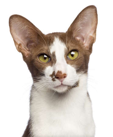 oriental white cat: Close-up of an Oriental Shorthair looking at camera against white background