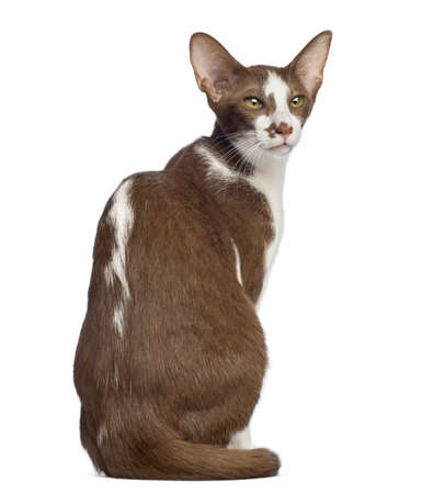 oriental white cat: Rear view of an Oriental Shorthair sitting and looking away against white background Stock Photo