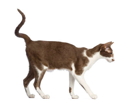 oriental white cat: Side view of an Oriental Shorthair walking against white background Stock Photo