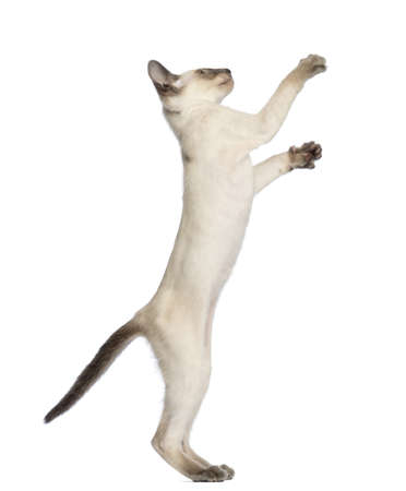oriental white cat: Oriental Shorthair kitten, 9 weeks old, standing on hind legs and reaching against white background