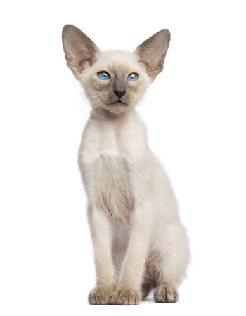 oriental white cat: Oriental Shorthair kitten, 9 weeks old, sitting and looking away against white background Stock Photo