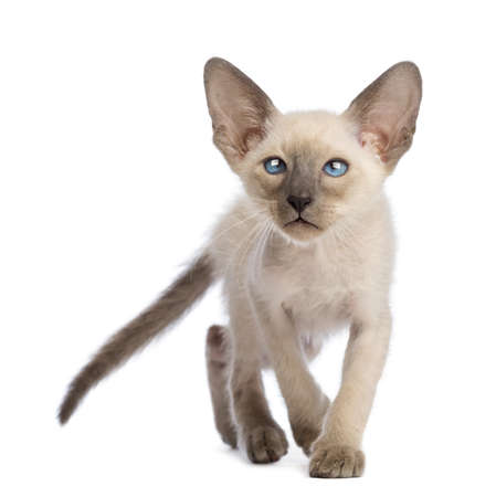 oriental white cat: Front view of an Oriental Shorthair kitten walking and looking up against white background Stock Photo