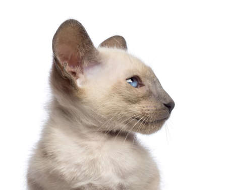 oriental white cat: Close-up an Oriental Shorthair kitten, 9 weeks old, looking away against white background