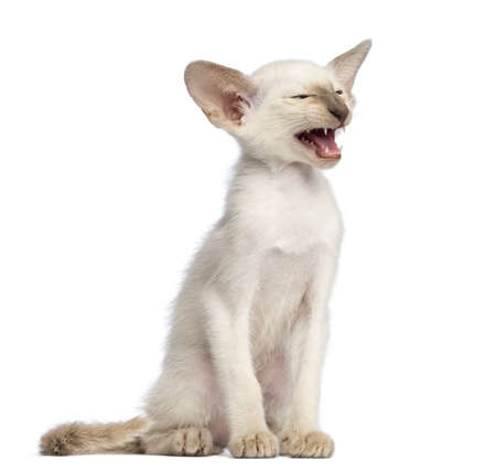 oriental white cat: Oriental Shorthair kitten, 9 weeks old, sitting, looking away and meowing against white background Stock Photo