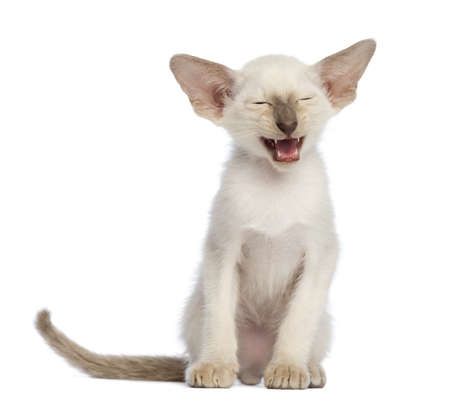 oriental white cat: Oriental Shorthair kitten, 9 weeks old, sitting and meowing against white background