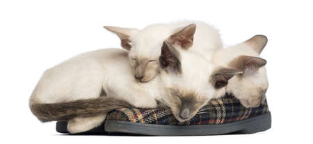 cat sleeping: Three Oriental Shorthair kittens, 9 weeks old, lying and sleeping on pair of slippers against white background