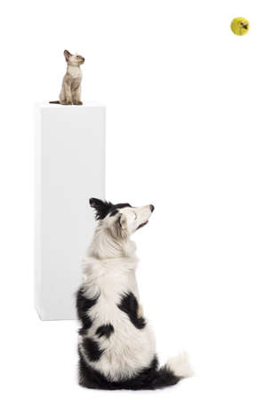 Border Collie sitting in front of a Oriental shorthair kitten sitting on a pedestal, watching a tennis ball against white background photo