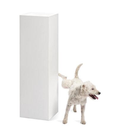 pis: Parson Russell Terrier orinando sobre un pedestal contra el fondo blanco