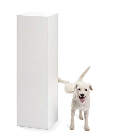 animal behavior: Parson Russell terrier urinating on a pedestal against white background