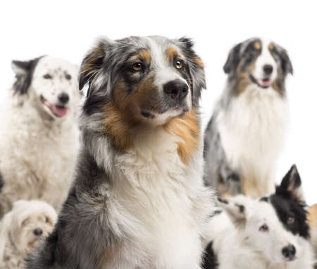 Close up of a Australian Shepherd with dogs in the background sitting against white background photo