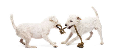 pulling rope: Parson Russell terriers playing with a rope against white background