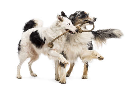 bonding rope: Border Collie and Australian Shepherd playing with a rope against white background