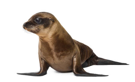 Young California Sea Lion, Zalophus californianus, 3 months old against white background photo