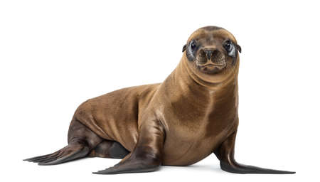 Young California Sea Lion, Zalophus californianus, portrait, 3 months old against white background photo