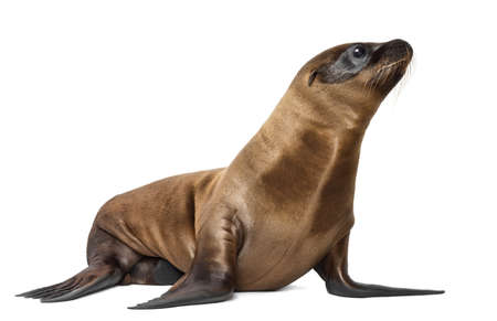sea lion: Young California Sea Lion, Zalophus californianus, 3 months old against white background Stock Photo