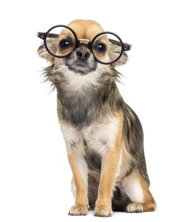 round glasses: Chihuahua llevaba gafas redondas, sent�ndose y mirando a la c�mara contra el fondo blanco