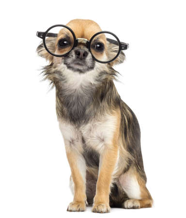Chihuahua wearing round glasses ,sitting and looking at camera against white background photo