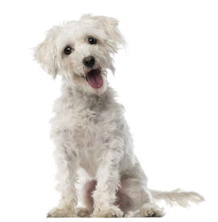maltese dog: Maltese dog, 3 years old, sitting and looking at camera against white background