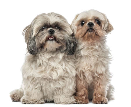 shih tzu: Old Shih Tzu, 14.5 years old, and Shih Tzu, 4.5 years old, sitting and looking at camera against white background
