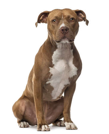 american staffordshire terrier: American Staffordshire Terrier sitting and looking at camera against white background Stock Photo