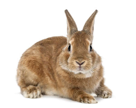 Rabbit lying and looking at camera against white background photo