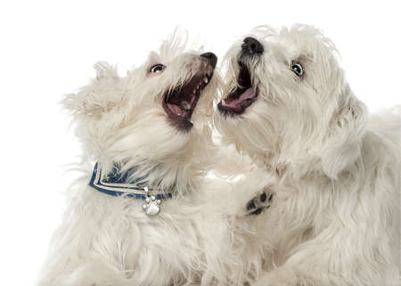 Two Maltese dogs, 2 years old, play fighting against white background photo