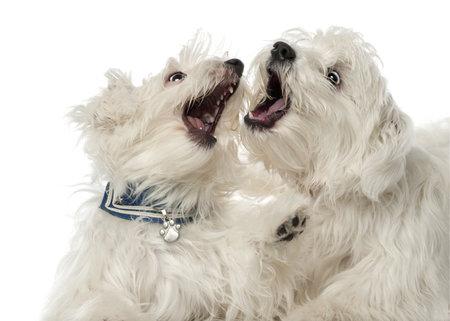 kampfhund: Zwei Malteser Hunde, 2 Jahre alt, spielen im Kampf gegen weißen Hintergrund