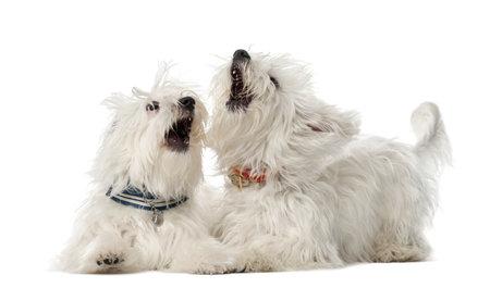fighting dog: Due cani maltesi, 2 anni, la menzogna e gioco combattendo contro sfondo bianco