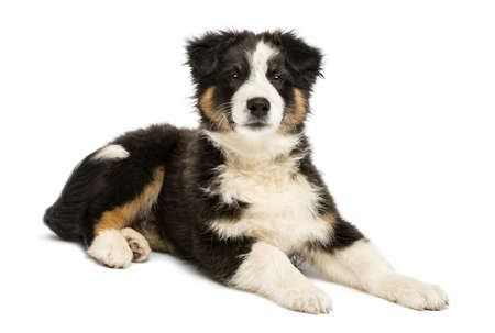 Australian Shepherd puppy, 3 months old, lying and looking at camera against white background photo