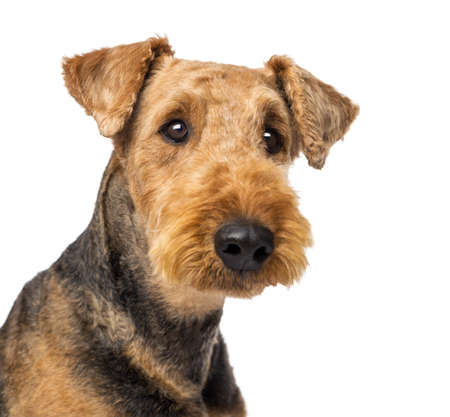 Gros plan d'une Terriers d'Airedale regardant la cam�ra sur fond blanc photo
