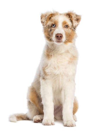 Australian Shepherd puppy, 3.5 months old, sitting and looking at camera against white background photo