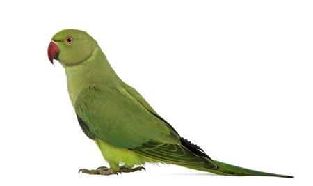 periquito: Vista lateral de un Parakeet Rose-anillado, Psittacula krameri, tambi�n conocido como Anillo-necked Perico sobre fondo blanco