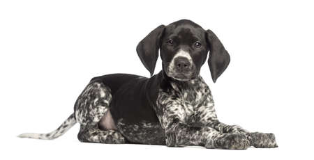 shorthaired: German Shorthaired Pointer, 10 weeks old, lying against white background