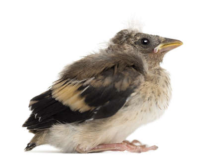 Side view of an European Goldfinch chick, Carduelis carduelis, against white background photo