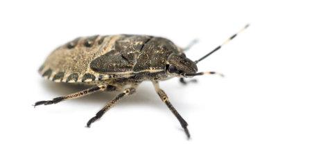 shield bug: Shield Bug, Troilus luridus, against white background