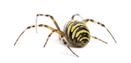 Rear view of a Wasp Spider, Argiope bruennichi, against white background Stock Photo - 17291169