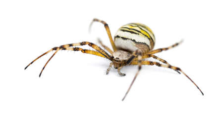 Wasp Spider, Argiope bruennichi, against white background photo