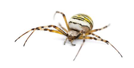 argiope: Wasp Spider, Argiope bruennichi, against white background Stock Photo