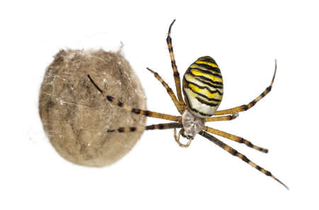 Wasp Spider, Argiope bruennichi, hanging next to its egg sack against white background Stock Photo - 17291494