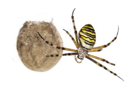 Wasp Spider, Argiope bruennichi, hanging next to its egg sack against white background Stock Photo - 17291494